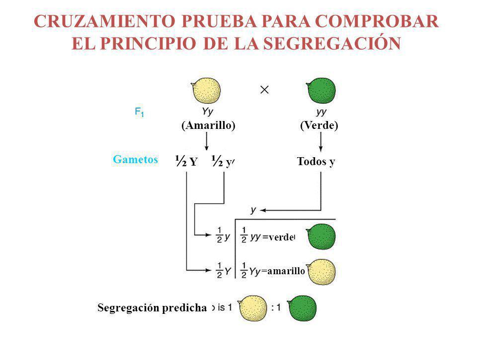 CRUZAMIENTO PRUEBA PARA COMPROBAR EL PRINCIPIO DE LA SEGREGACIÓN Segregación predicha (Amarillo) (Verde) verde =amarillo Todos y ½ Y ½ y Gametos