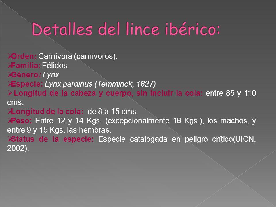 Orden: Carnívora (carnívoros). Familia: Félidos. Género: Lynx Especie: Lynx pardinus (Temminck, 1827) Longitud de la cabeza y cuerpo, sin incluir la c
