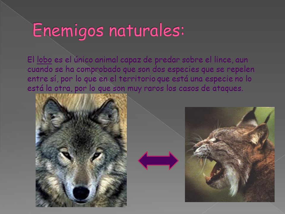 El lobo es el único animal capaz de predar sobre el lince, aun cuando se ha comprobado que son dos especies que se repelen entre sí, por lo que en el