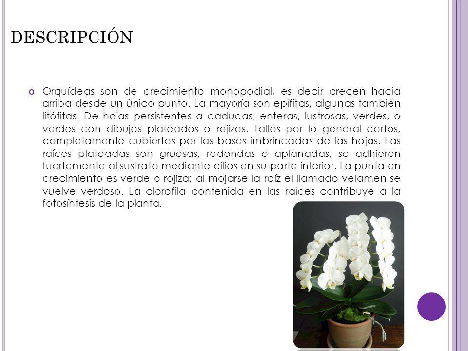 DESCRIPCIÓN Orquídeas son de crecimiento monopodial, es decir crecen hacia arriba desde un único punto. La mayoría son epífitas, algunas también litóf