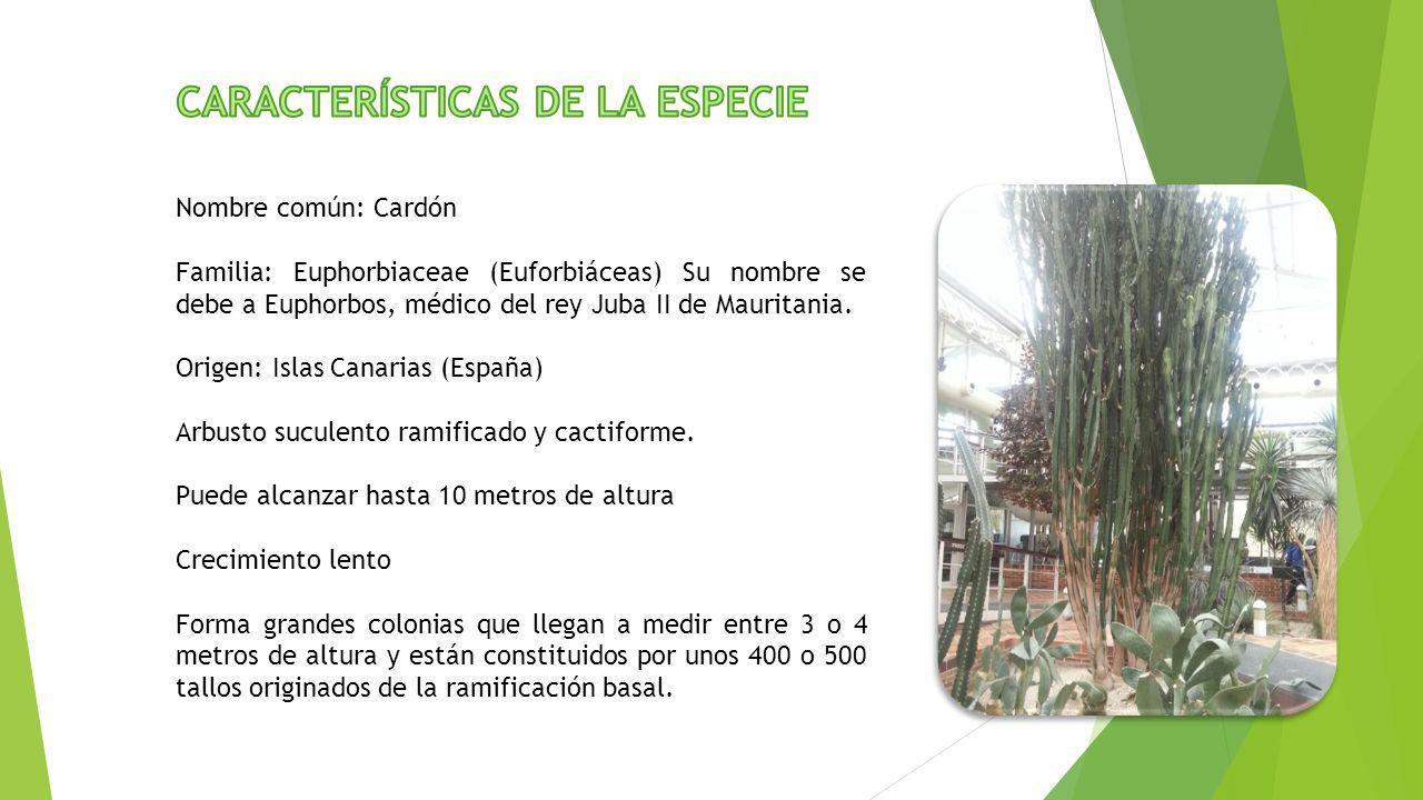 Nombre común: Cardón Familia: Euphorbiaceae (Euforbiáceas) Su nombre se debe a Euphorbos, médico del rey Juba II de Mauritania. Origen: Islas Canarias