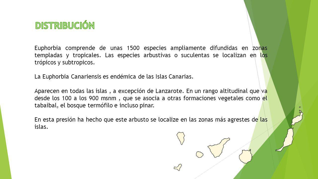 Euphorbia comprende de unas 1500 especies ampliamente difundidas en zonas templadas y tropicales. Las especies arbustivas o suculentas se localizan en