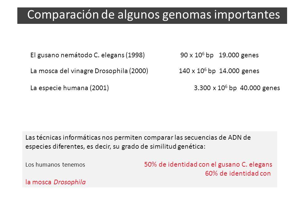 El gusano nemátodo C. elegans (1998) 90 x 10 6 bp 19.000 genes La mosca del vinagre Drosophila (2000) 140 x 10 6 bp 14.000 genes La especie humana (20