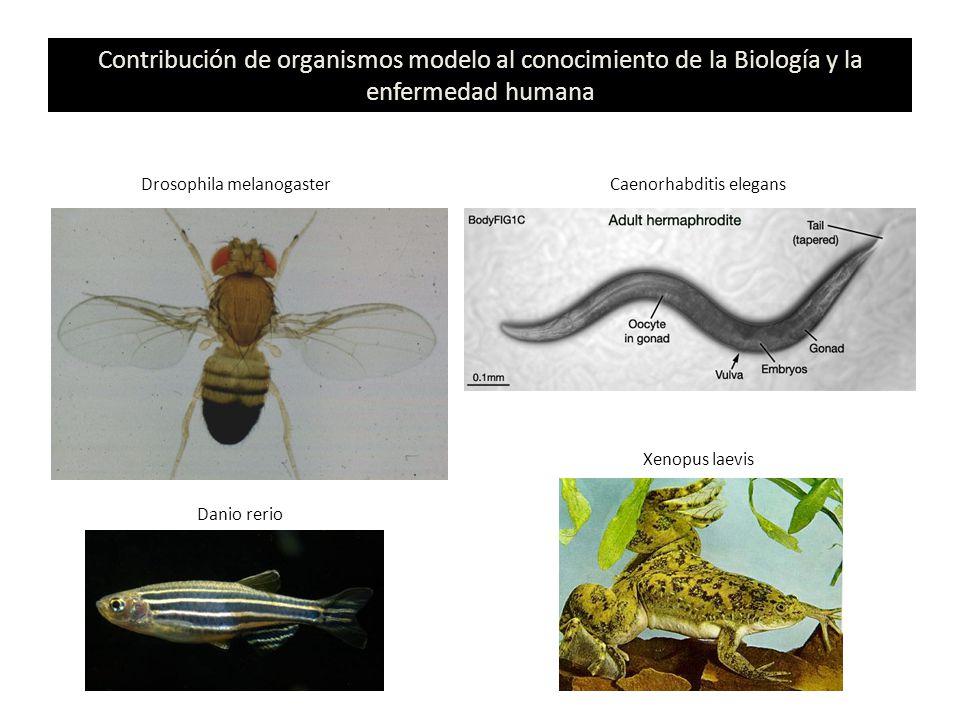 Contribución de organismos modelo al conocimiento de la Biología y la enfermedad humana Drosophila melanogasterCaenorhabditis elegans Danio rerio Xeno
