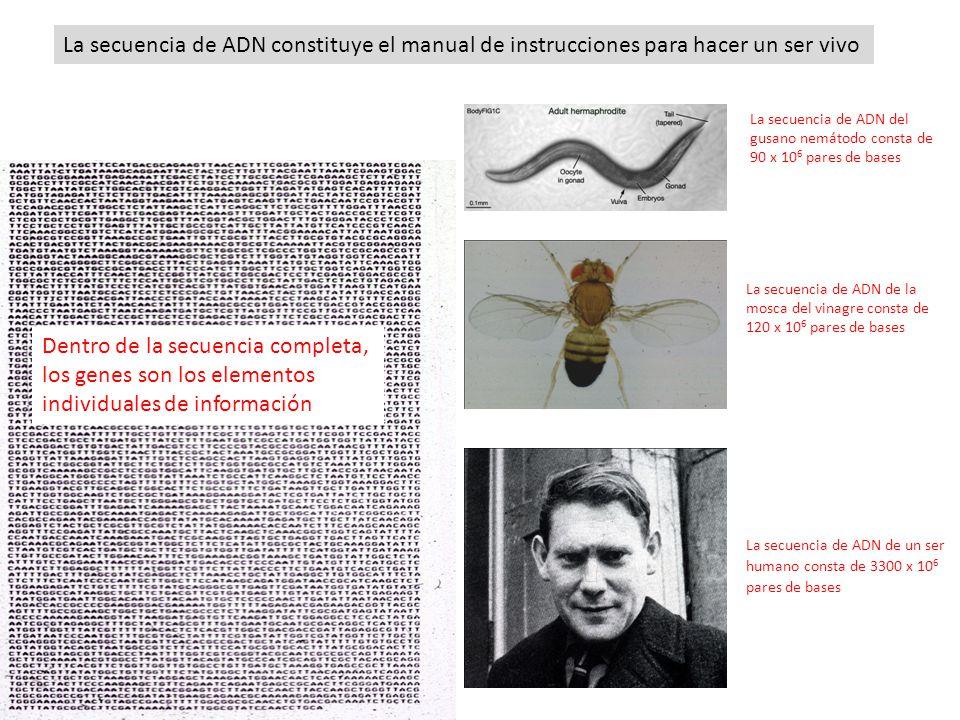 La secuencia del fago ØX174 consta de 5000 pares de bases La secuencia de ADN del gusano nemátodo consta de 90 x 10 6 pares de bases La secuencia de A