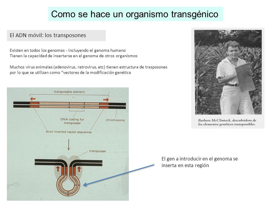 El ADN móvil: los transposones Existen en todos los genomas - incluyendo el genoma humano Tienen la capacidad de insertarse en el genoma de otros orga