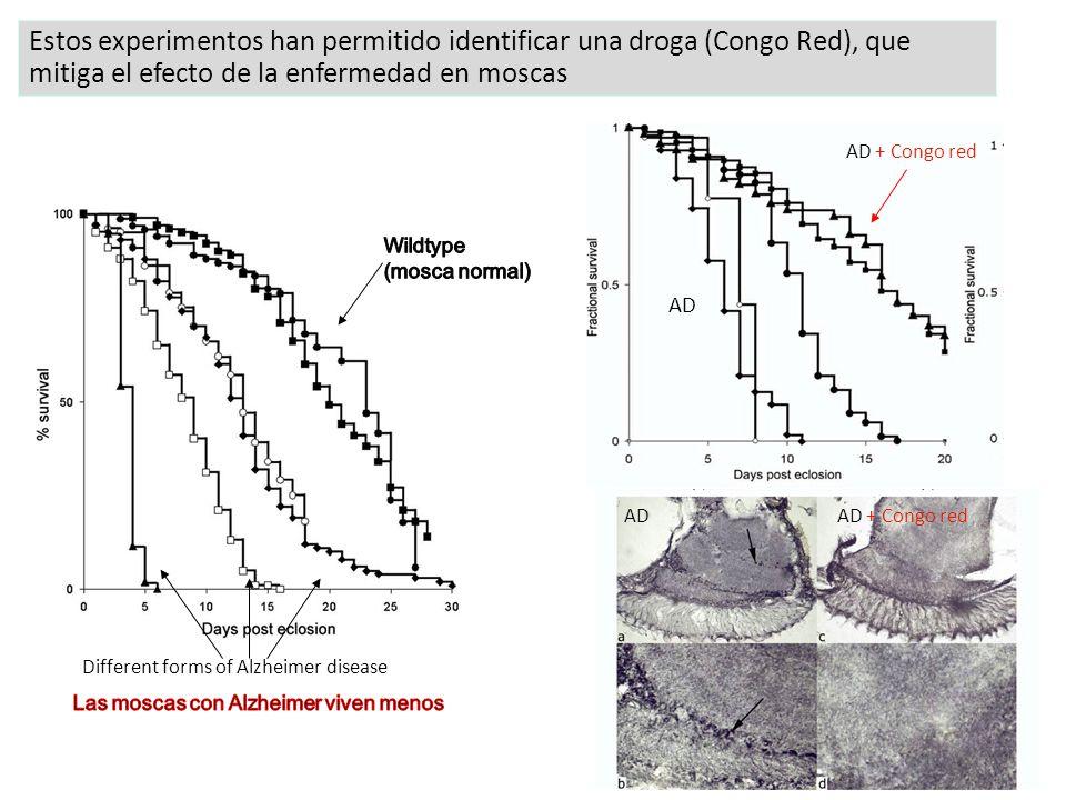 Estos experimentos han permitido identificar una droga (Congo Red), que mitiga el efecto de la enfermedad en moscas Different forms of Alzheimer disease AD + Congo red AD