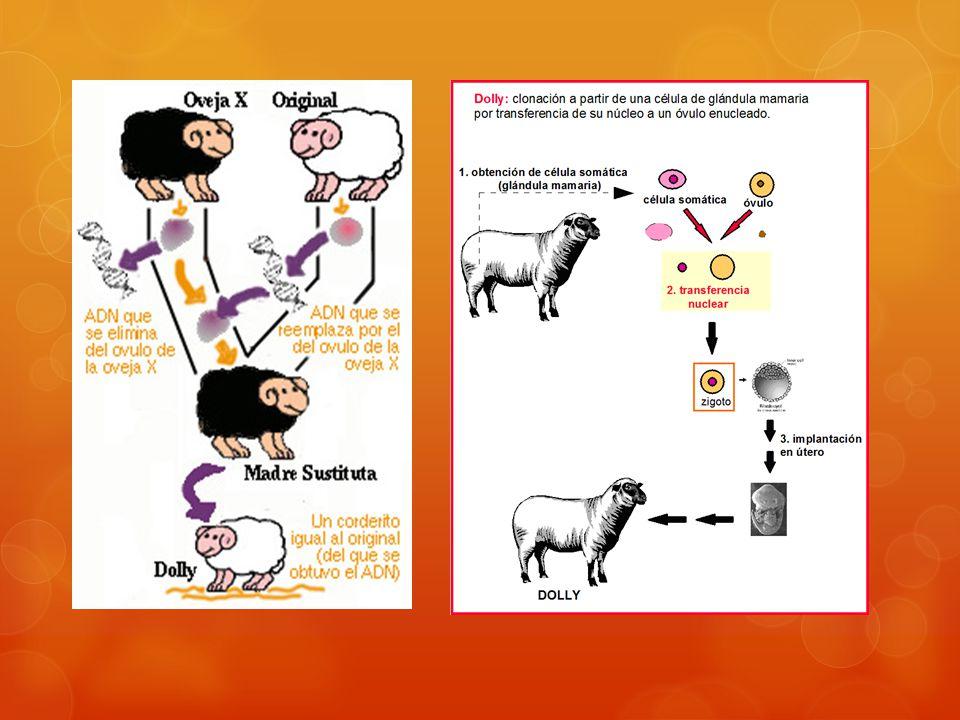 La oveja Dolly se apareó y produjo crías normales de forma natural.
