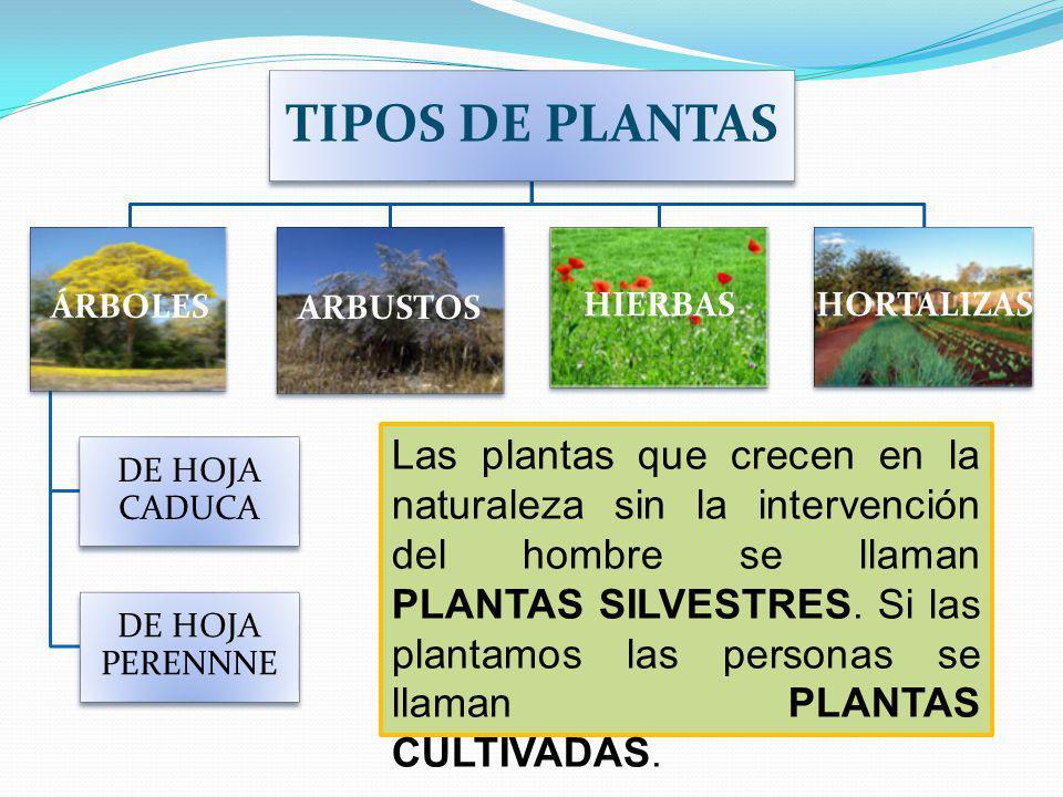 TIPOS DE PLANTAS ÁRBOLES DE HOJA CADUCA DE HOJA PERENNNE ARBUSTOS HIERBAS HORTALIZAS Las plantas que crecen en la naturaleza sin la intervención del hombre se llaman PLANTAS SILVESTRES.