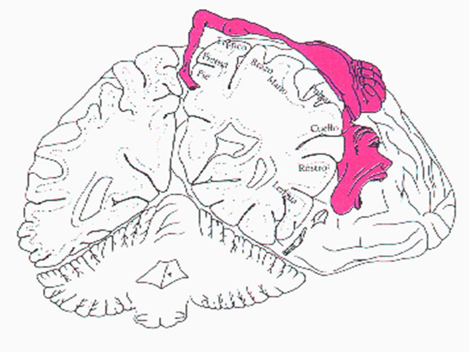 La actividad regular y sistemática estimula el crecimiento dendrítico y aumenta el número de conexiones sinápticas entre las ya existentes. La activid