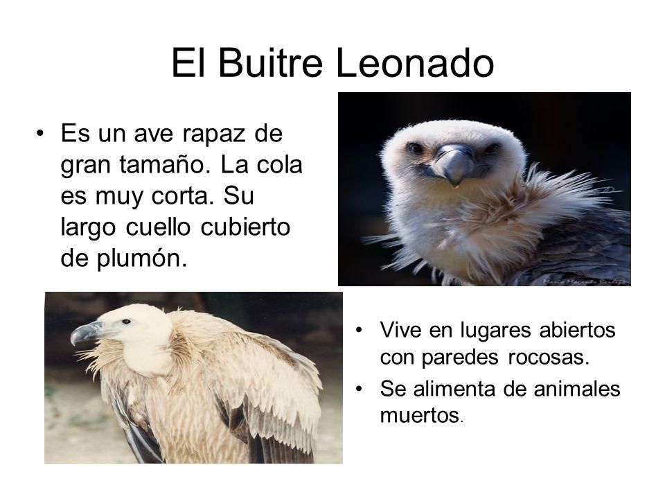 El Buitre Leonado Es un ave rapaz de gran tamaño. La cola es muy corta. Su largo cuello cubierto de plumón. Vive en lugares abiertos con paredes rocos