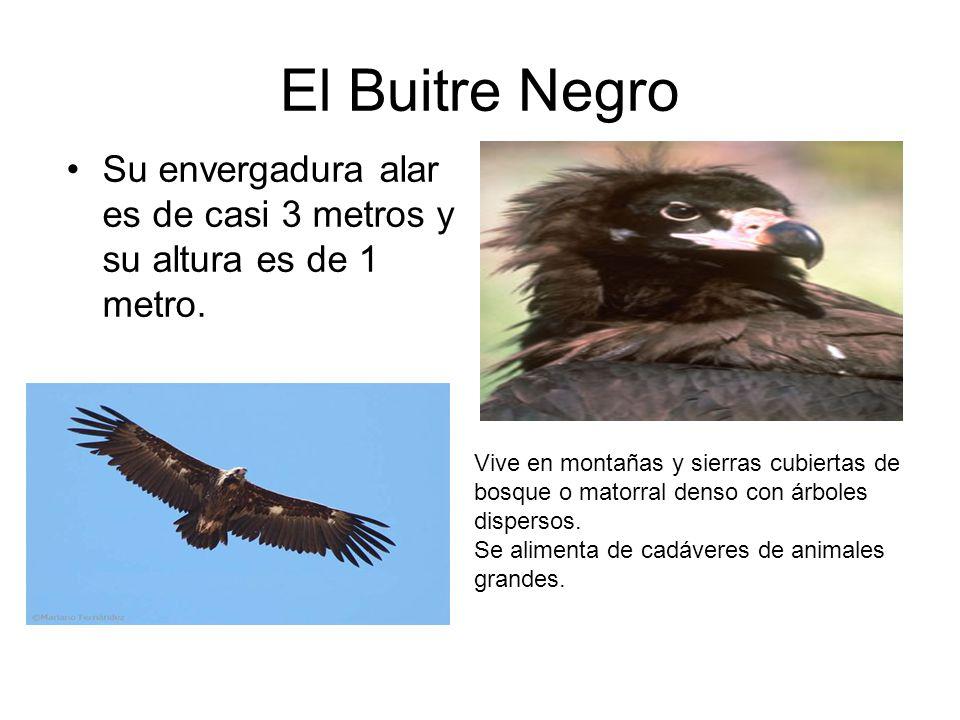 El Buitre Negro Su envergadura alar es de casi 3 metros y su altura es de 1 metro. Vive en montañas y sierras cubiertas de bosque o matorral denso con
