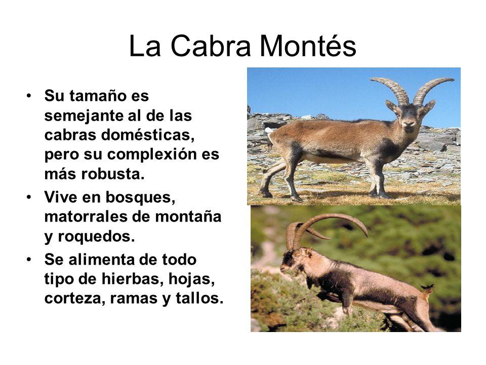 La Cabra Montés Su tamaño es semejante al de las cabras domésticas, pero su complexión es más robusta. Vive en bosques, matorrales de montaña y roqued