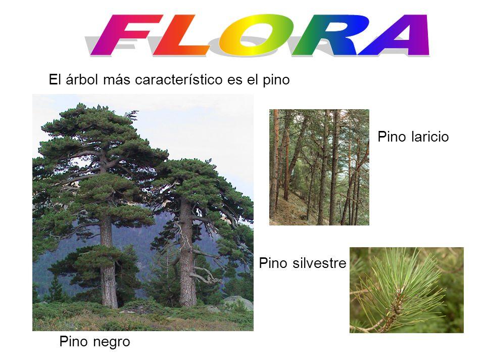 El árbol más característico es el pino Pino laricio Pino negro Pino silvestre
