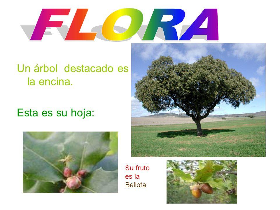 Un árbol destacado es la encina. Esta es su hoja: Su fruto es la Bellota