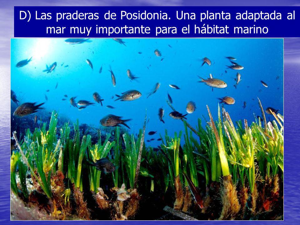 D) Las praderas de Posidonia. Una planta adaptada al mar muy importante para el hábitat marino
