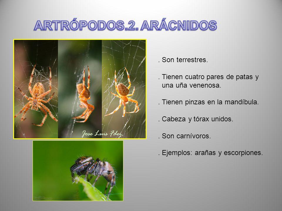 . Son terrestres.. Tienen cuatro pares de patas y una uña venenosa.. Tienen pinzas en la mandíbula.. Cabeza y tórax unidos.. Son carnívoros.. Ejemplos
