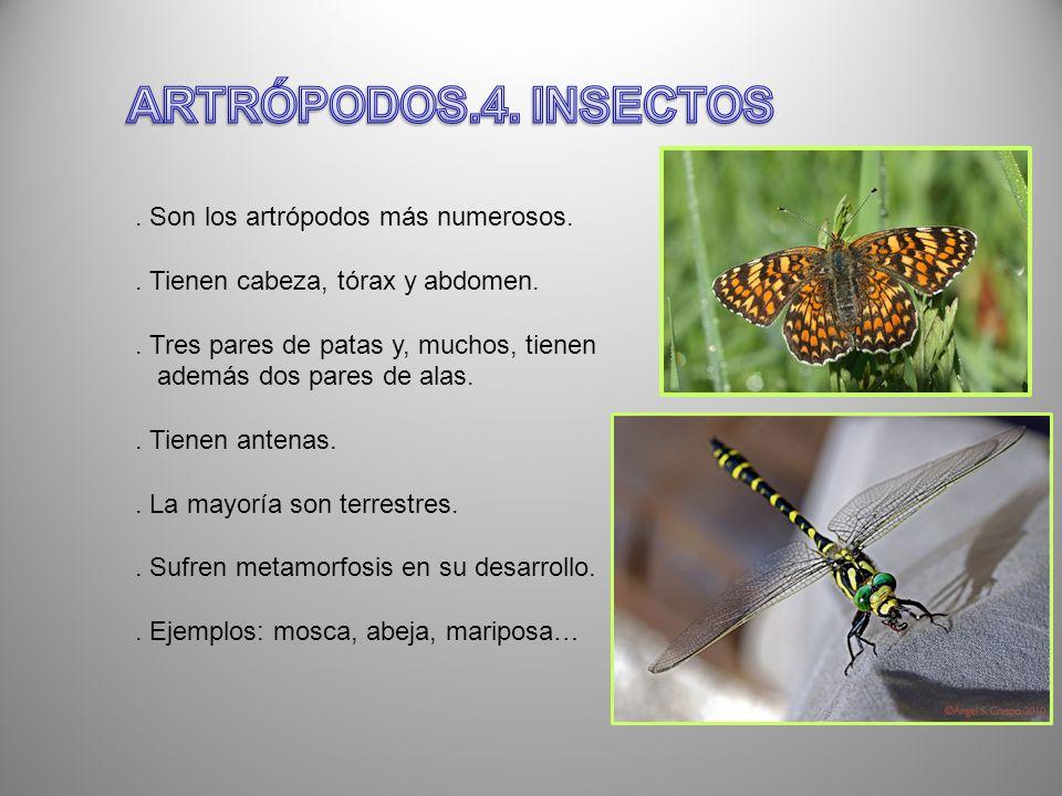 . Son los artrópodos más numerosos.. Tienen cabeza, tórax y abdomen.. Tres pares de patas y, muchos, tienen además dos pares de alas.. Tienen antenas.