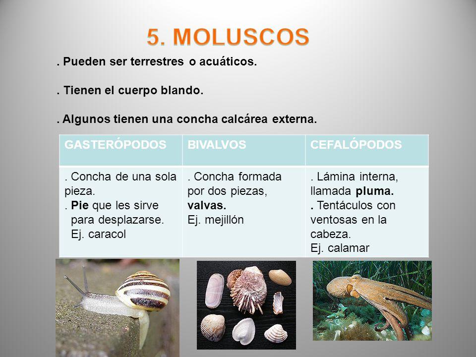 . Pueden ser terrestres o acuáticos.. Tienen el cuerpo blando.. Algunos tienen una concha calcárea externa. GASTERÓPODOSBIVALVOSCEFALÓPODOS. Concha de