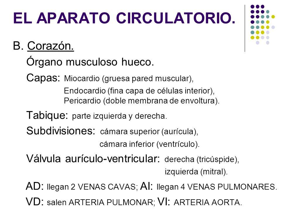 EL APARATO CIRCULATORIO. B. Corazón. Órgano musculoso hueco. Capas: Miocardio (gruesa pared muscular), Endocardio (fina capa de células interior), Per