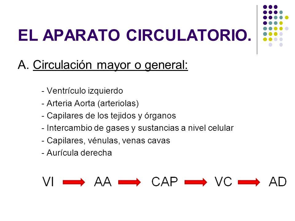 A. Circulación mayor o general: - Ventrículo izquierdo - Arteria Aorta (arteriolas) - Capilares de los tejidos y órganos - Intercambio de gases y sust