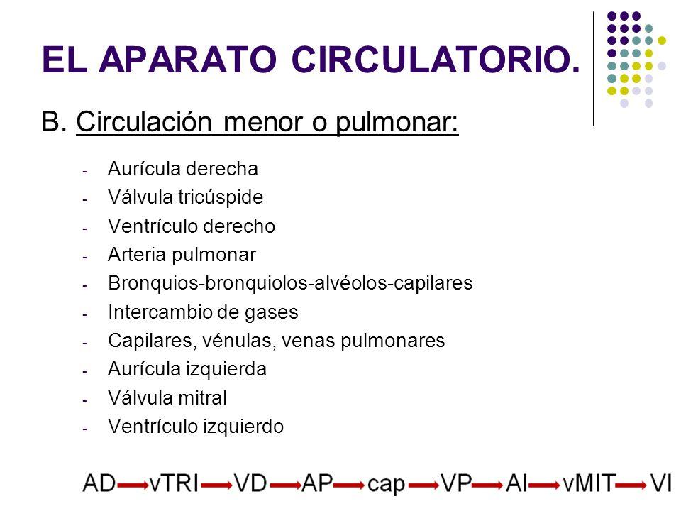 B. Circulación menor o pulmonar: - Aurícula derecha - Válvula tricúspide - Ventrículo derecho - Arteria pulmonar - Bronquios-bronquiolos-alvéolos-capi