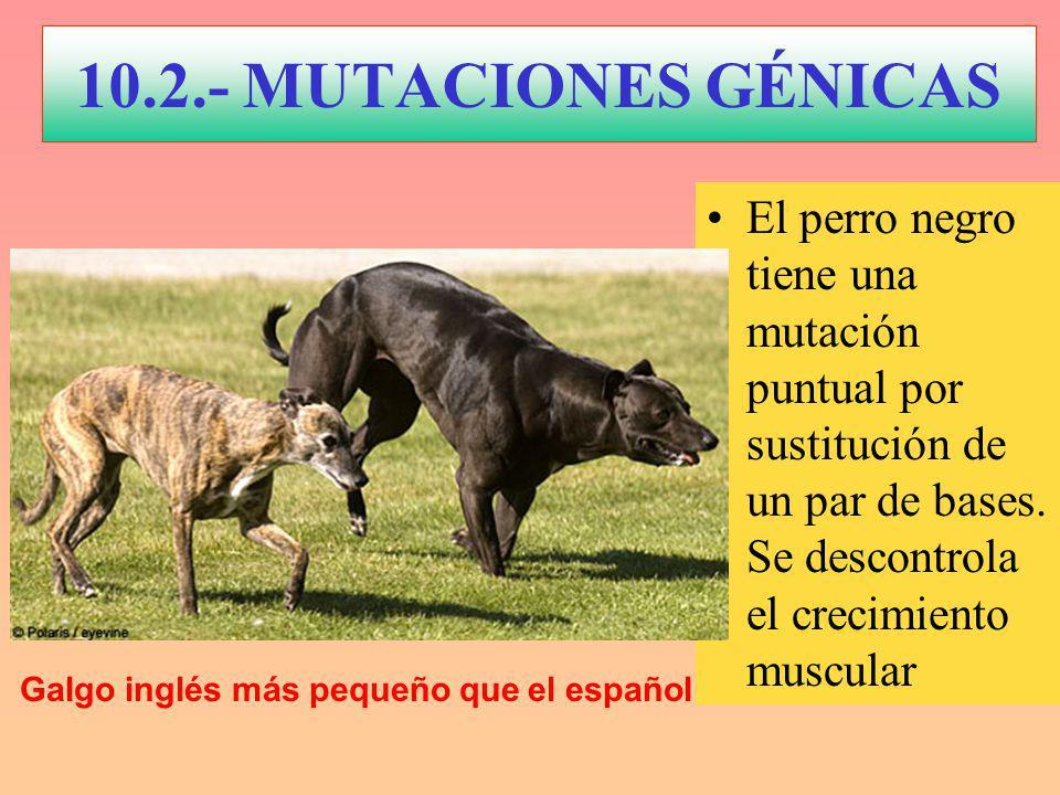 El perro negro tiene una mutación puntual por sustitución de un par de bases.