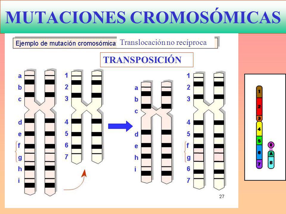 MUTACIONES CROMOSÓMICAS TRANSPOSICIÓN Translocación no recíproca