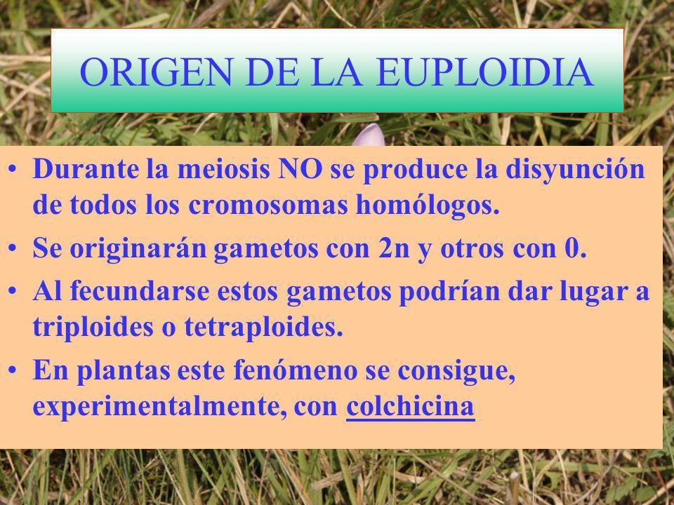 ORIGEN DE LA EUPLOIDIA Durante la meiosis NO se produce la disyunción de todos los cromosomas homólogos.