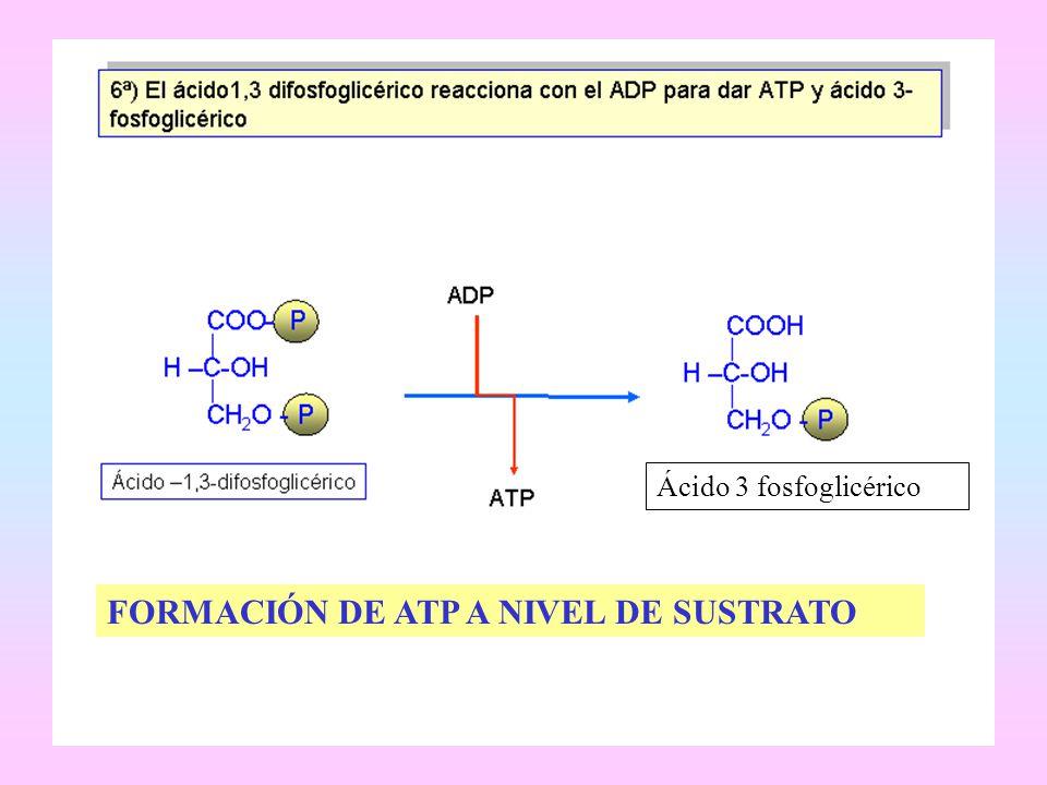 Ácido 3 fosfoglicérico FORMACIÓN DE ATP A NIVEL DE SUSTRATO