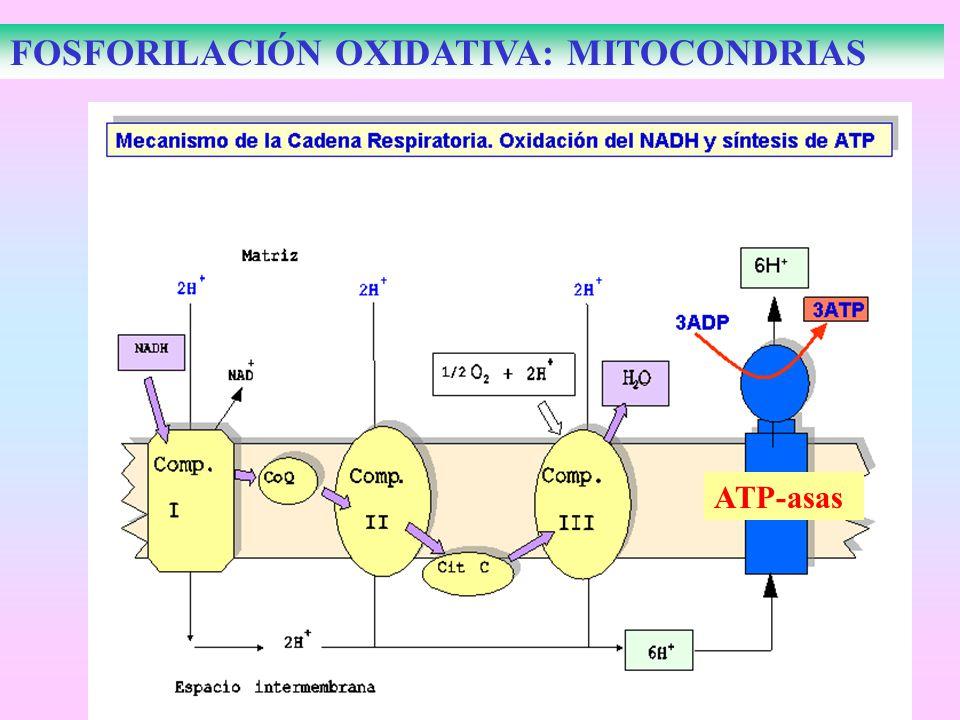 FOSFORILACIÓN OXIDATIVA: MITOCONDRIAS ATP-asas