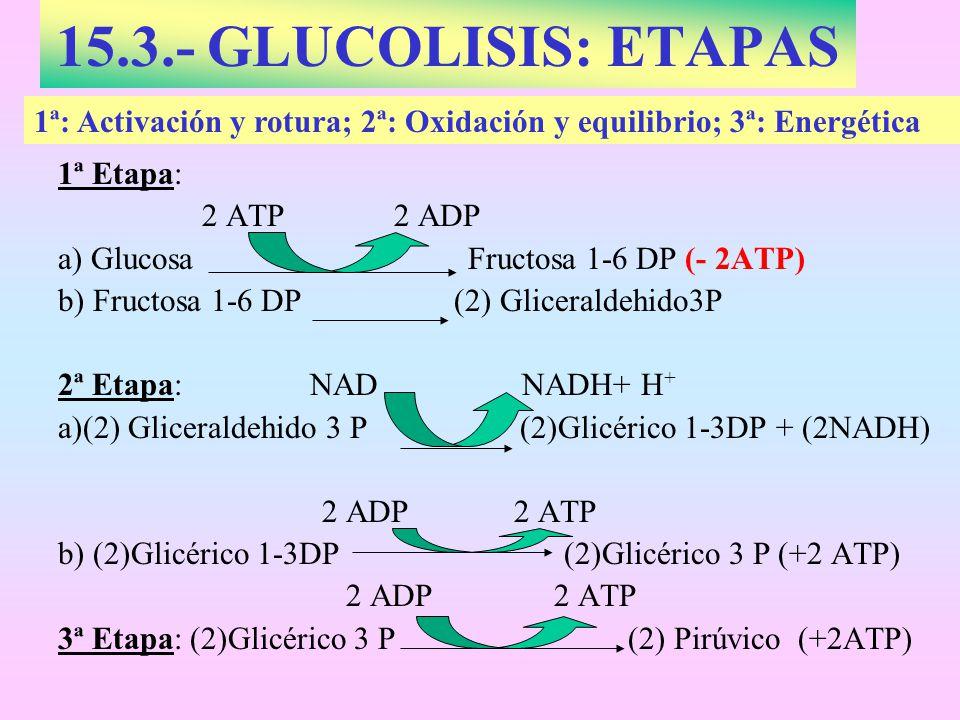 15.3.- GLUCOLISIS: ETAPAS 1ª Etapa: 2 ATP2 ADP a) Glucosa Fructosa 1-6 DP (- 2ATP) b) Fructosa 1-6 DP (2) Gliceraldehido3P 2ª Etapa: NAD NADH+ H + a)(