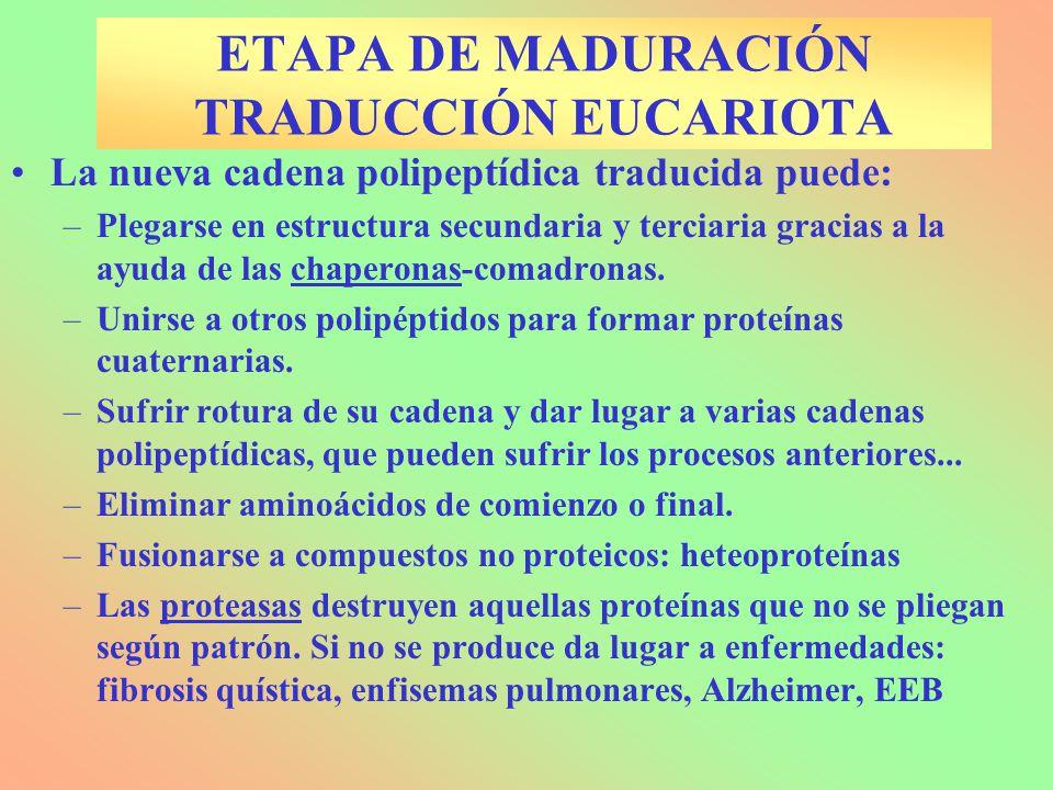 ETAPA DE MADURACIÓN TRADUCCIÓN EUCARIOTA La nueva cadena polipeptídica traducida puede: –Plegarse en estructura secundaria y terciaria gracias a la ay