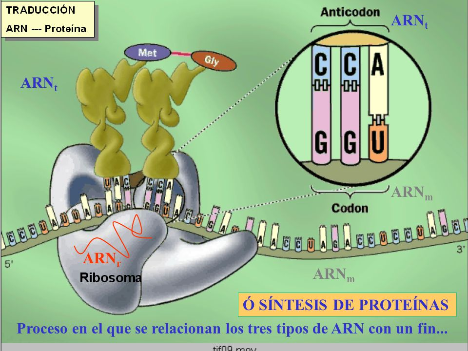 ARN r ARN m ARN t Proceso en el que se relacionan los tres tipos de ARN con un fin... Ó SÍNTESIS DE PROTEÍNAS