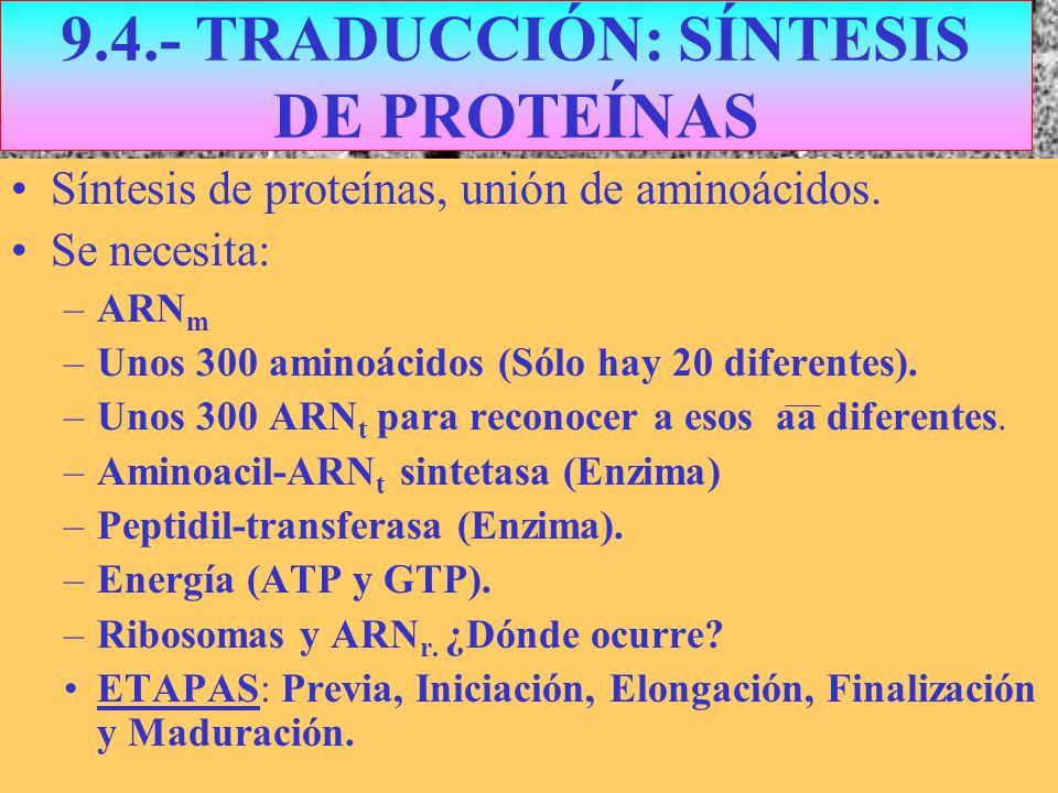 9.4.- TRADUCCIÓN: SÍNTESIS DE PROTEÍNAS Síntesis de proteínas, unión de aminoácidos. Se necesita: –ARN m –Unos 300 aminoácidos (Sólo hay 20 diferentes