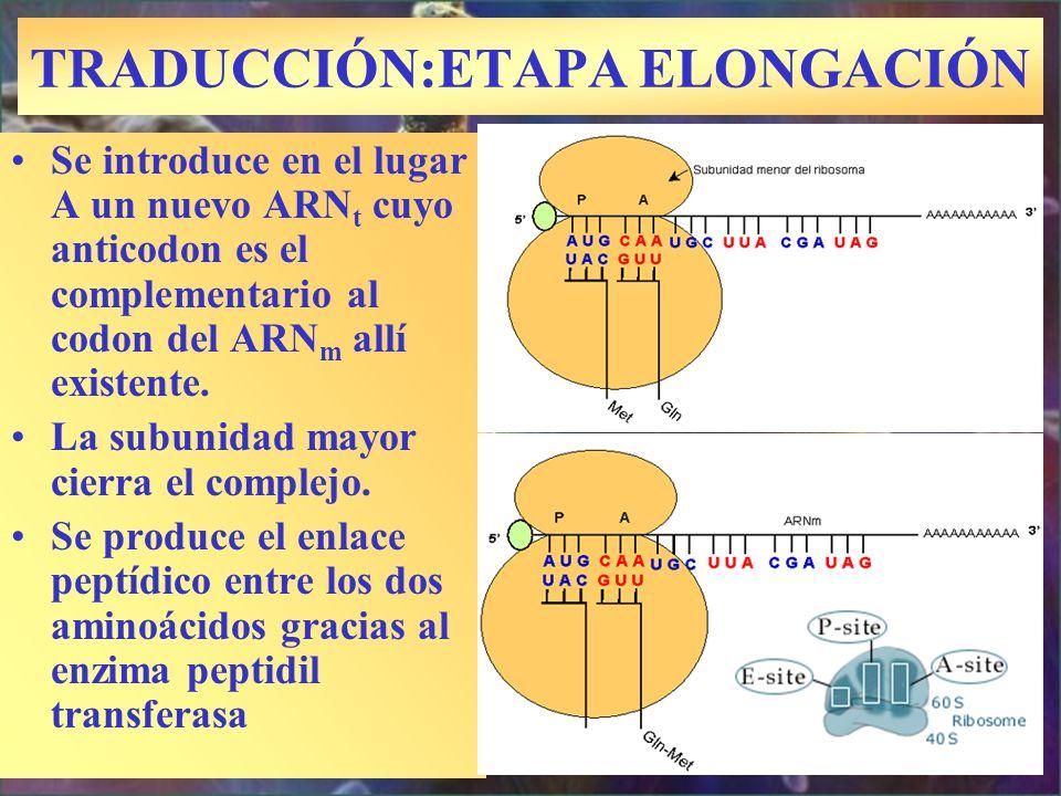TRADUCCIÓN:ETAPA ELONGACIÓN Se introduce en el lugar A un nuevo ARN t cuyo anticodon es el complementario al codon del ARN m allí existente. La subuni