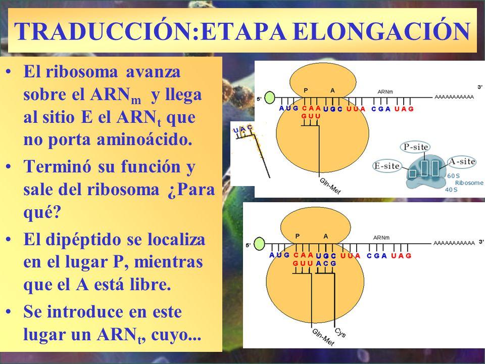 TRADUCCIÓN:ETAPA ELONGACIÓN El ribosoma avanza sobre el ARN m y llega al sitio E el ARN t que no porta aminoácido. Terminó su función y sale del ribos