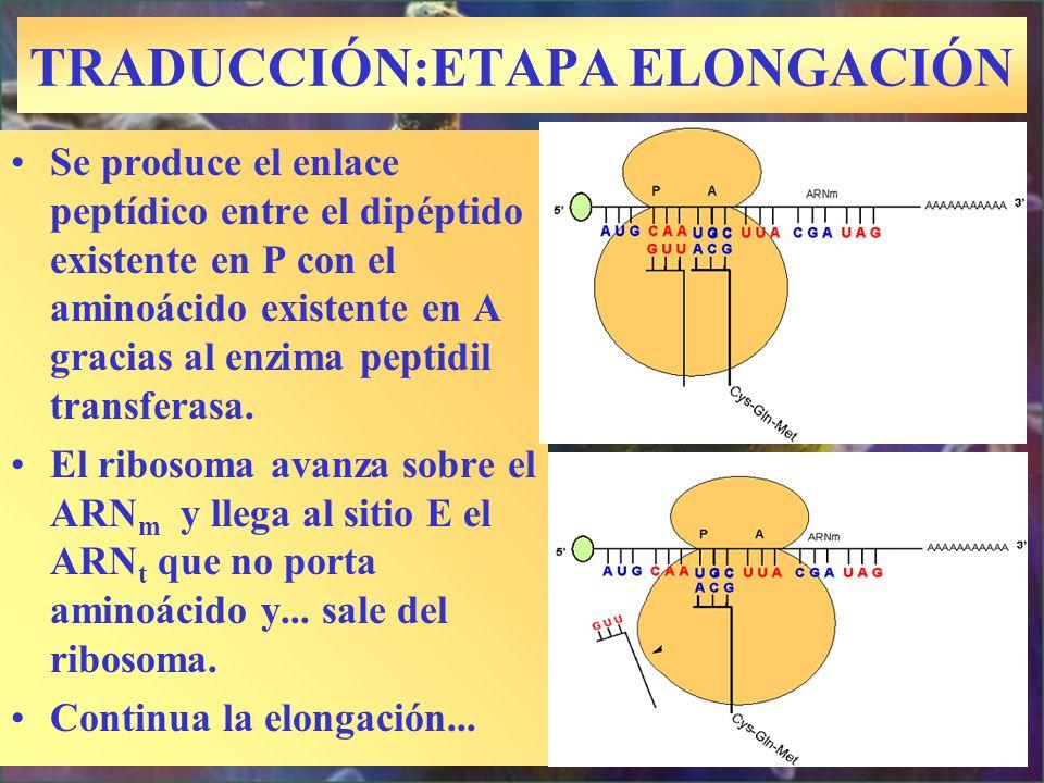 TRADUCCIÓN:ETAPA ELONGACIÓN Se produce el enlace peptídico entre el dipéptido existente en P con el aminoácido existente en A gracias al enzima peptid