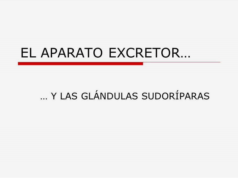 EL APARATO EXCRETOR… … Y LAS GLÁNDULAS SUDORÍPARAS