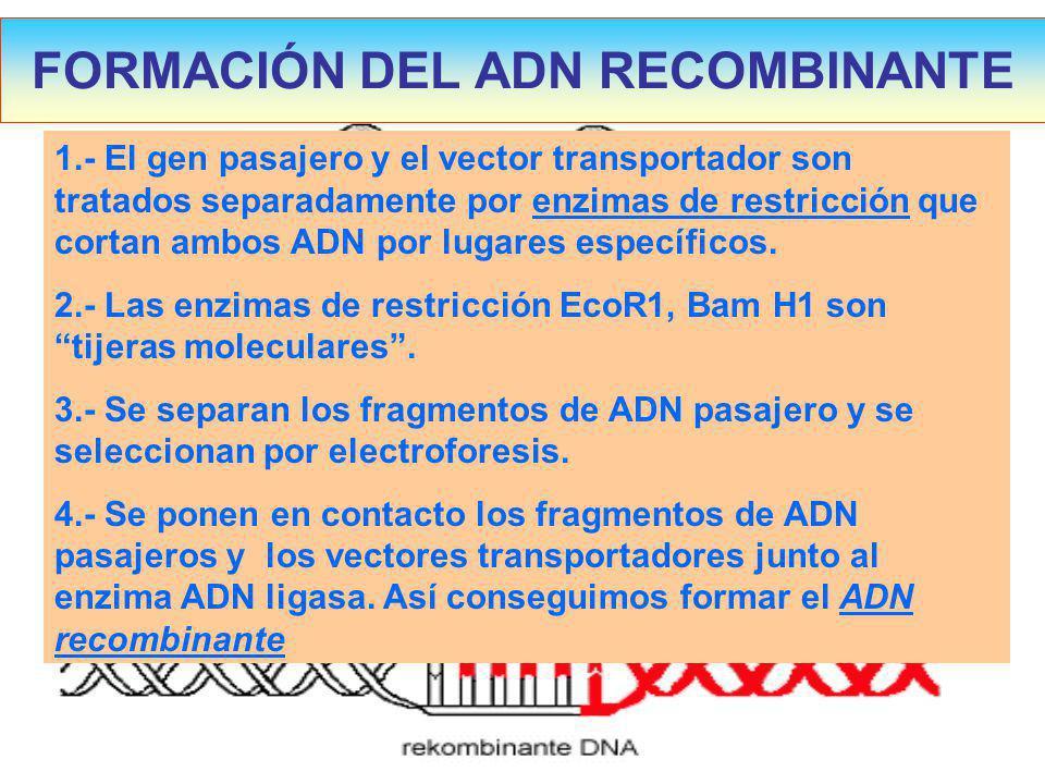 FORMACIÓN DEL ADN RECOMBINANTE 1.- El gen pasajero y el vector transportador son tratados separadamente por enzimas de restricción que cortan ambos ADN por lugares específicos.