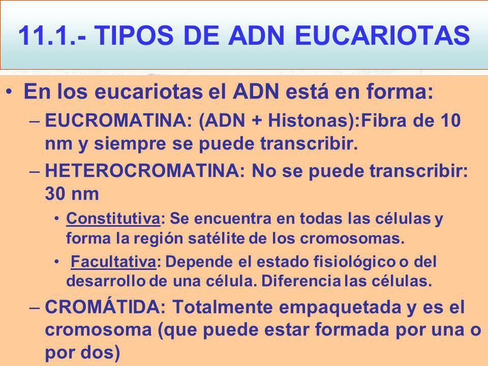 En los eucariotas el ADN está en forma: –EUCROMATINA: (ADN + Histonas):Fibra de 10 nm y siempre se puede transcribir.