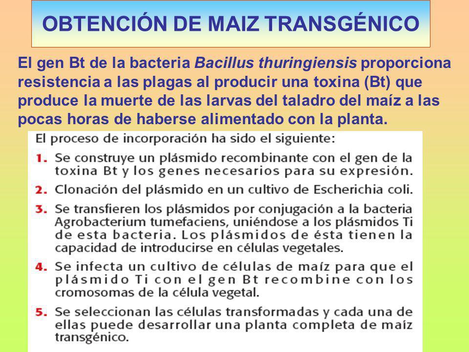 OBTENCIÓN DE MAIZ TRANSGÉNICO El gen Bt de la bacteria Bacillus thuringiensis proporciona resistencia a las plagas al producir una toxina (Bt) que produce la muerte de las larvas del taladro del maíz a las pocas horas de haberse alimentado con la planta.