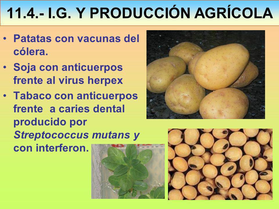 Patatas con vacunas del cólera.