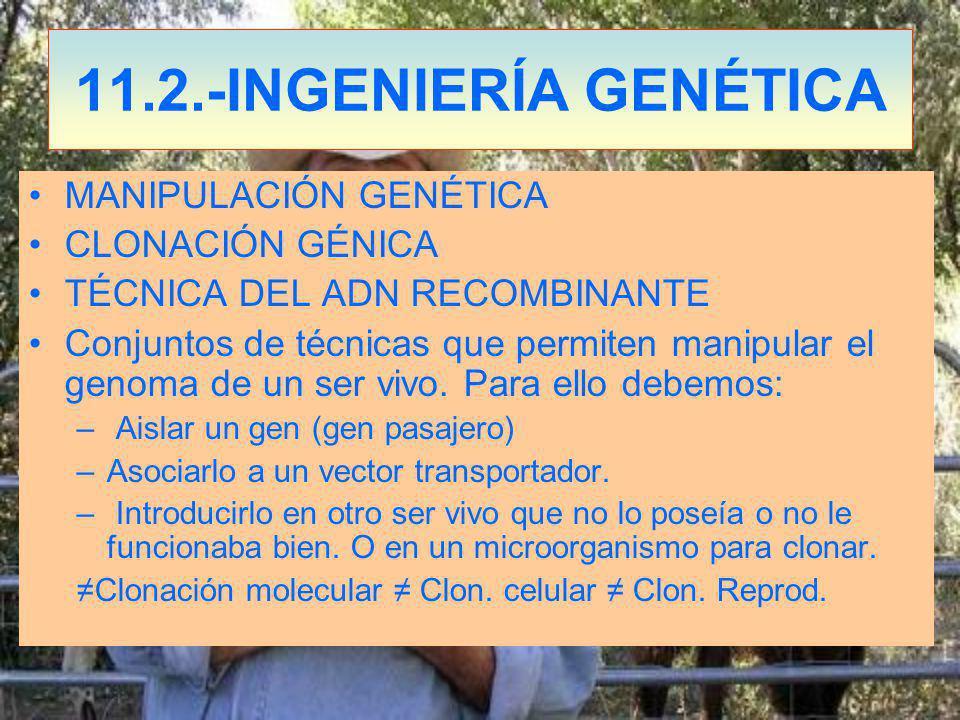 11.2.-INGENIERÍA GENÉTICA MANIPULACIÓN GENÉTICA CLONACIÓN GÉNICA TÉCNICA DEL ADN RECOMBINANTE Conjuntos de técnicas que permiten manipular el genoma de un ser vivo.