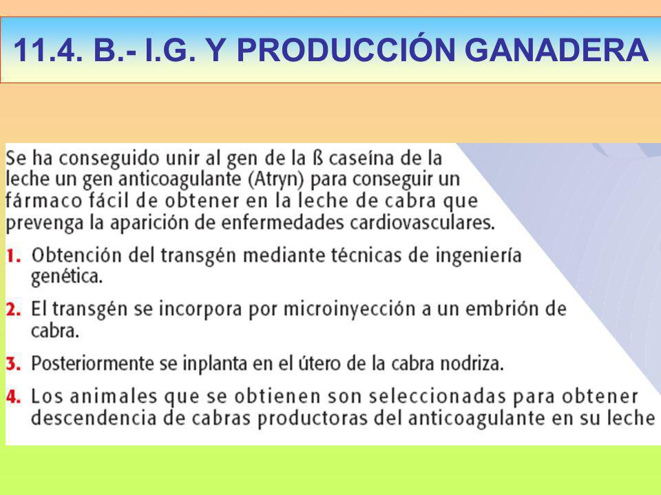 11.4. B.- I.G. Y PRODUCCIÓN GANADERA