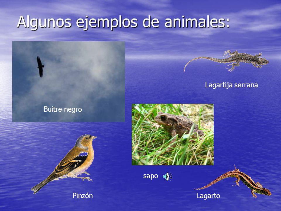Algunos ejemplos de animales: Buitre negro Lagartija serrana LagartoPinzón sapo