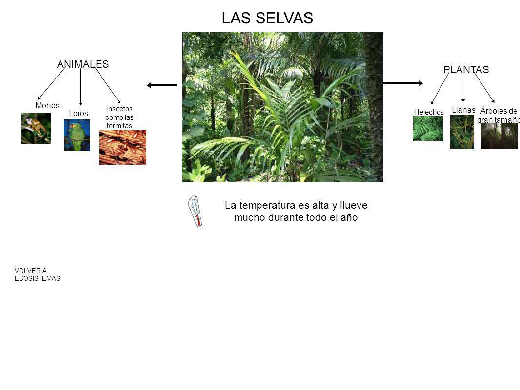LAS SELVAS VOLVER A ECOSISTEMAS La temperatura es alta y llueve mucho durante todo el año PLANTAS Helechos Lianas Árboles de gran tamaño ANIMALES Monos Loros Insectos como las termitas