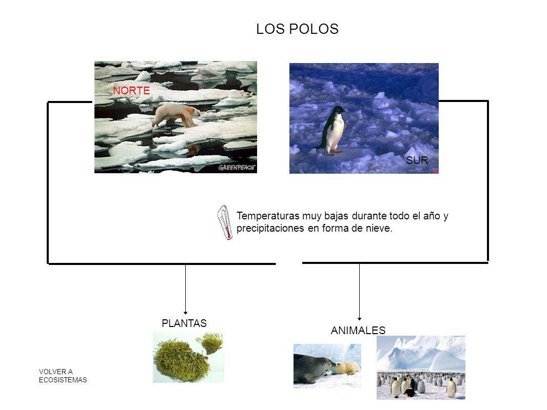 LOS POLOS NORTE SUR Temperaturas muy bajas durante todo el año y precipitaciones en forma de nieve. PLANTAS ANIMALES VOLVER A ECOSISTEMAS
