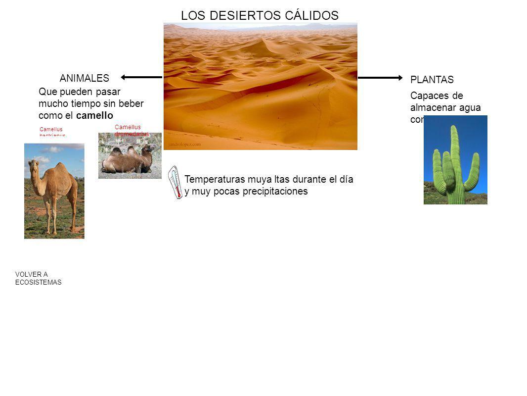 LOS DESIERTOS CÁLIDOS Temperaturas muya ltas durante el día y muy pocas precipitaciones VOLVER A ECOSISTEMAS PLANTAS Capaces de almacenar agua como el cactus ANIMALES Que pueden pasar mucho tiempo sin beber como el camello Camellus bactrianus Camellus dromedarius