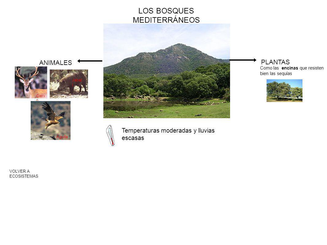 LOS BOSQUES MEDITERRÁNEOS Temperaturas moderadas y lluvias escasas PLANTAS ANIMALES Como las encinas que resisten bien las sequías Cierv o Jabal í Águila VOLVER A ECOSISTEMAS